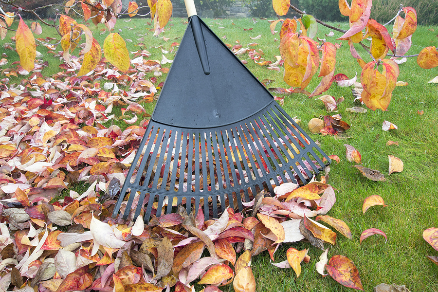 Raking Fall Leaves In Garden